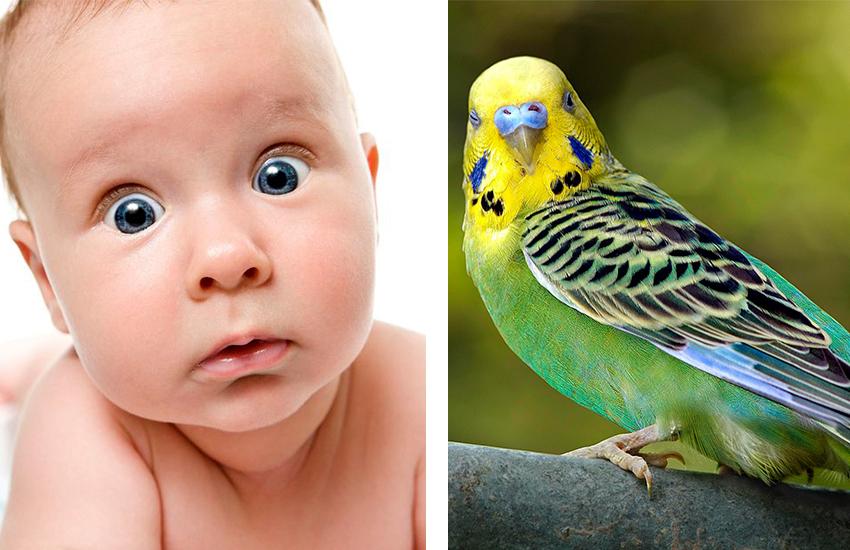 Bebeklerin Muhabbet Kuşları ile Olan 8 Benzerliği